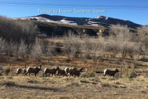 Bighorn Sheep having a hard time with this fence. It has since been removed.