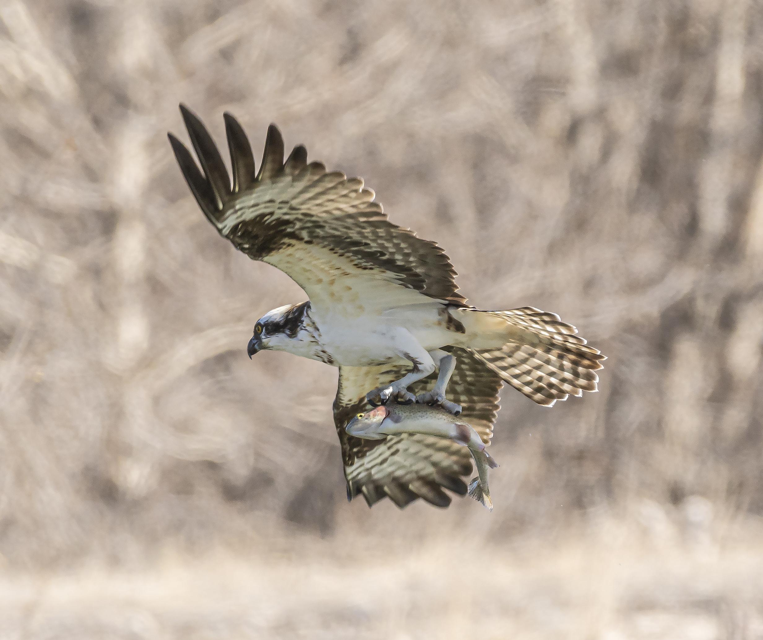 Pete's Pond Western Osprey
